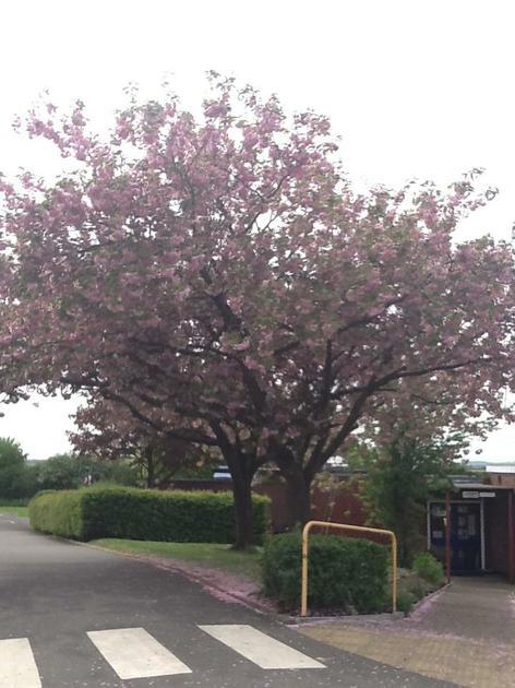 Our gorgeous school cherry tree.