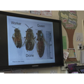 We learnt about the different types of honeybees
