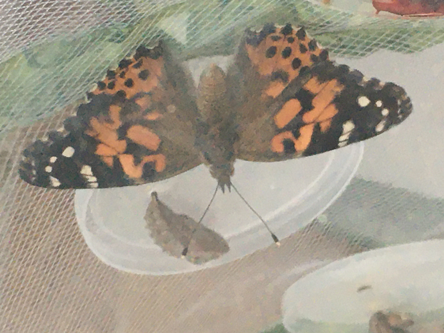 A Painted Lady hanging from the Butterfly Pavillion.