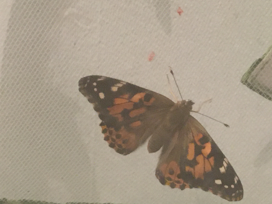 The orange, black and white pattern is distinctive of the Painted Lady Butterfly.
