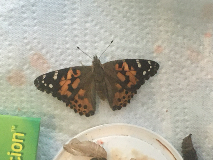 Another shot of a Painted Lady butterfly (Vanessa cardui).