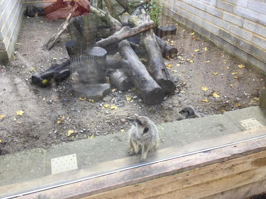 Look it;s a meerkat