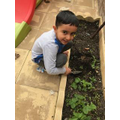 Abdul Ahad has been growing strwberries.