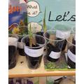 Planting a bean