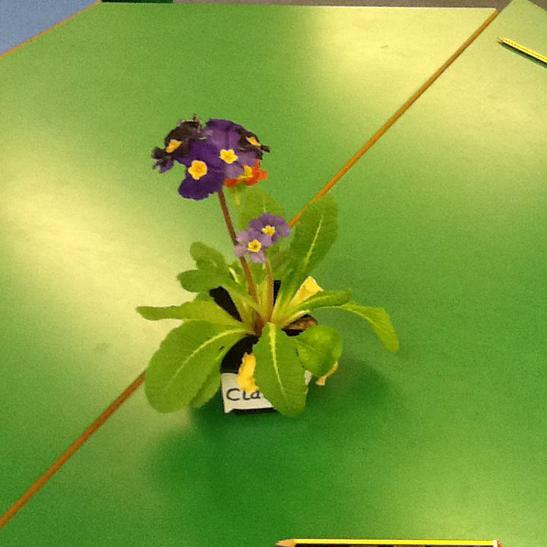 Plant that has been living in the classroom