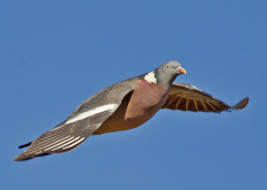 Wood pigeons clap their wings together when flying