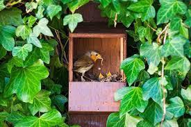 A robin nest in a bird box