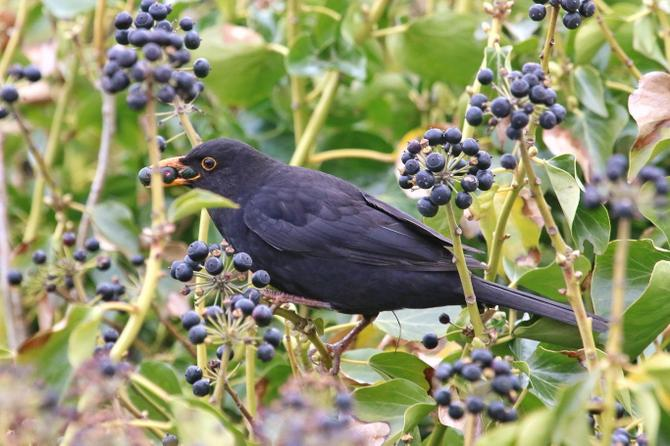 Blackbirds eat berries and seeds