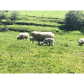 Sheep with their lambs