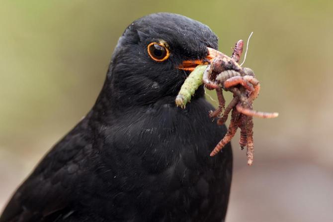 Blackbirds eat worms