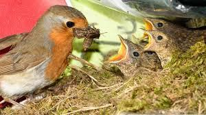 Robin feeding it's chicks