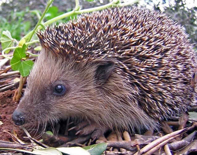 Miss Walker loves hedgehogs.  Some visit her garden at night.