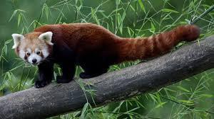She loves red pandas.