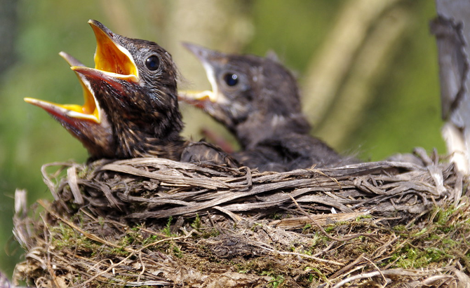 These are the blackbirds chicks