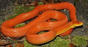 Everglade rat snake