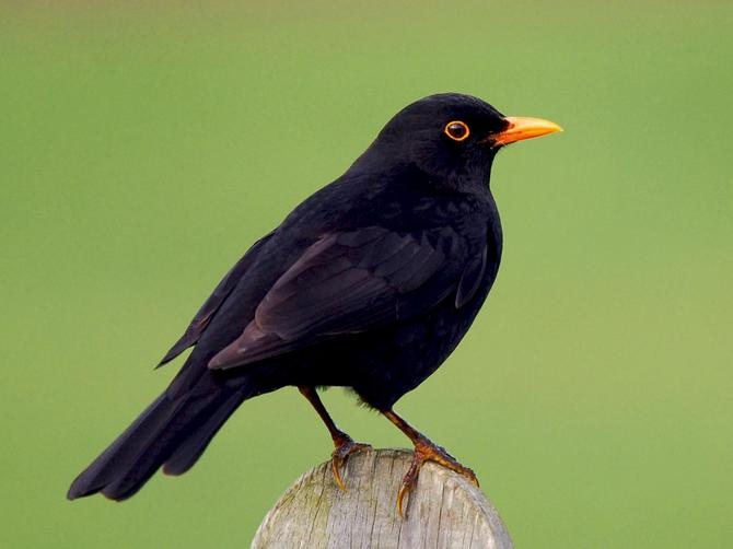 Boy blackbirds have black feathers