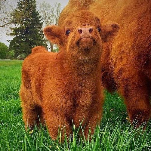 Highland Cattle Calf