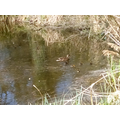 Tiny ducklings on the pond.
