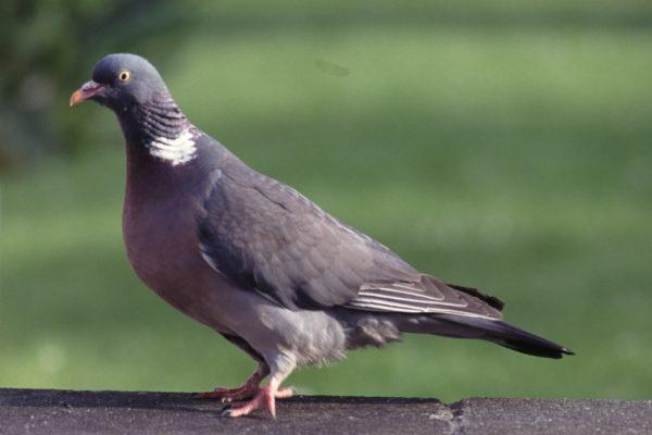 Wood pigeon girls and boys look the same.