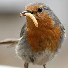Robins eat worms.
