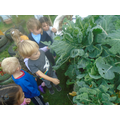 We found caterpillars in our allotment