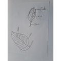 Scientific drawings of leafs