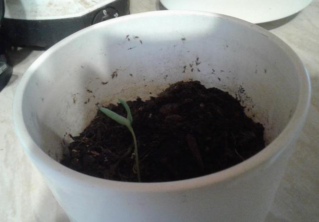 Vismay is growing a chilli plant