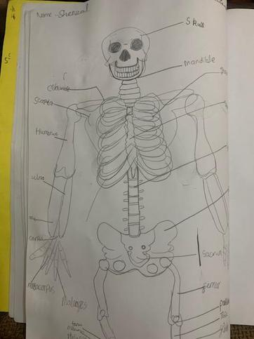 Sheezal's skeleton diagram