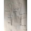 bones diagram