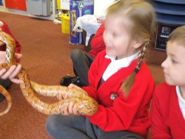 Science Week. This corn snake is heavy!