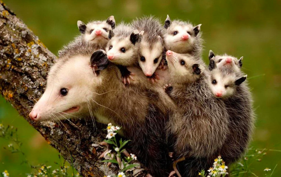 These possums had to leave their home.