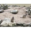 More meerkats!