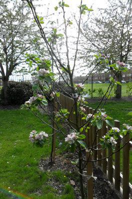 There is blossom on the young apple trees