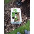 4 tomato plants and 4 pots.