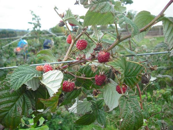 Can you count the lovely juicy raspberries?