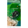 Meet Sunny - Esmae's new hamster