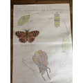 Alfie's Butterfly Life Cycle - great artwork!