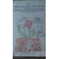Leia's life cycle of a tulip!
