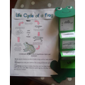Leia's life cycle of a frog!