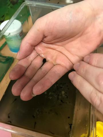 Carefully moving the tadpoles