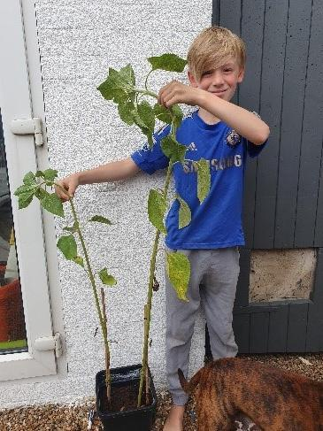Fraser has planted sunflowers