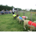 Sheep racing!!