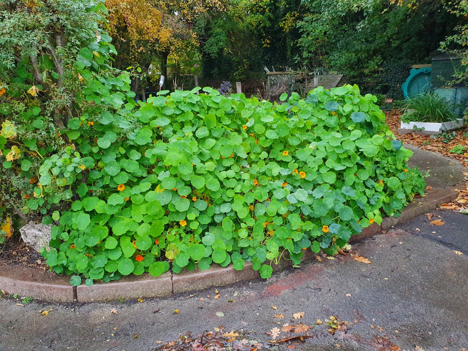 Nasturtiums by the entrance to our woodland area