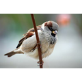 House Sparrows, in 3rd place - 140 visits