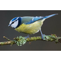 Our most popular bird, the Blue Tit - 161 visits