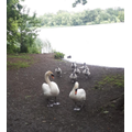 Samuel, P5 Gl, saw this swan family