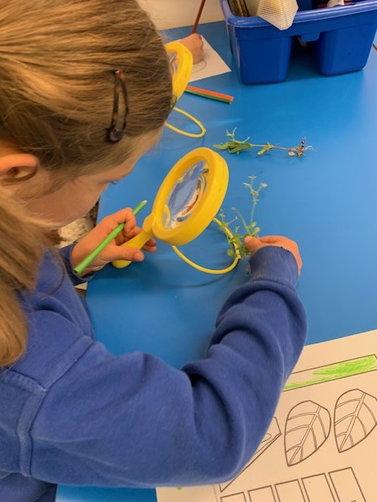 We looked at the parts of a plant carefully using some magnifying glasses.