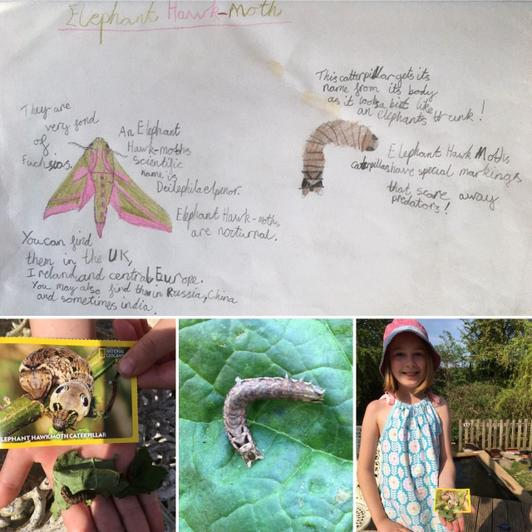 Researching & reporting on Elephant Hawk Moth