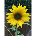 The sunflower is flowering