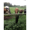 The cows are in the field